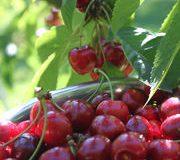Pesticides • Clap de fin pour le diméthoate sur les cerises