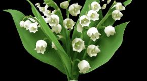 1er mai – Une fleur pour les vendeurs de muguet