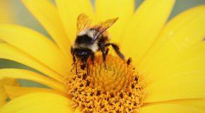 Pesticides tueurs d'abeilles – Une interdiction enfin définitive !